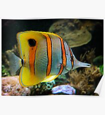 Copper-banded Butterfly Fish. Poster