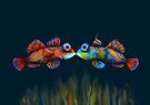 Mandarinfish by Karin Taylor