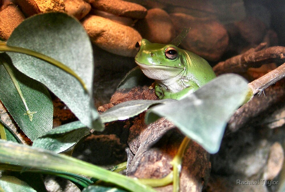 Green Tree Frog by Rachael Taylor