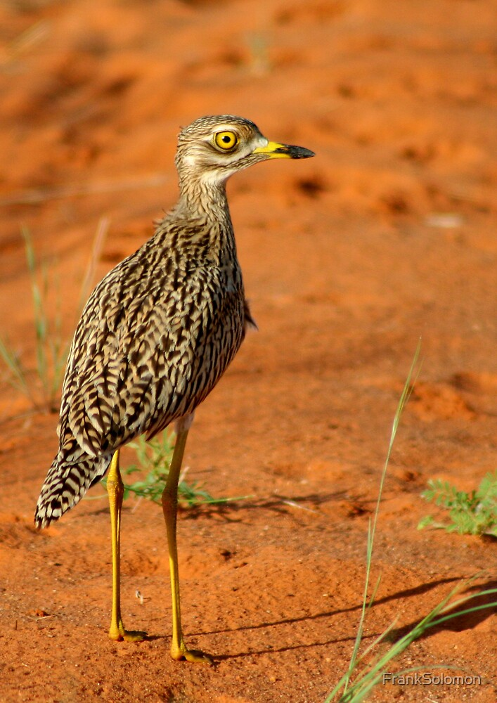 Spotted thick-knee! by FrankSolomon