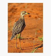 Spotted thick-knee! Photographic Print