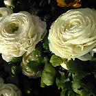 Sunkissed White Ranunculus by SunriseRose