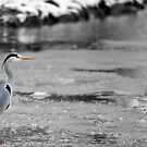 Heron on frozen village pond by LisaRoberts