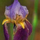 Purplish Iris by Rick  Friedle