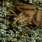 Frosch 3142 von João Castro