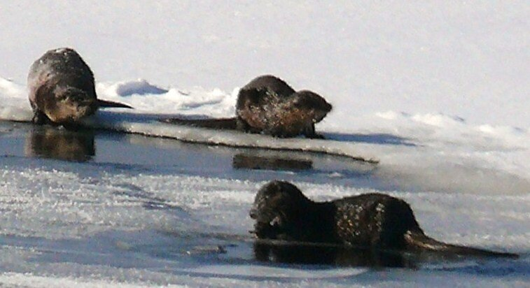 Little Otters by usmcgram