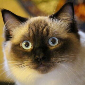 Beautiful RagDoll Cat by croper