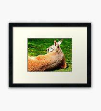 Lounging Kangaroo Framed Print