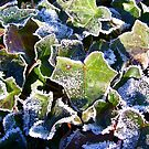 Frozen Ivy by Lee Anne French
