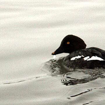 Goldeneye Duck by photoforyou