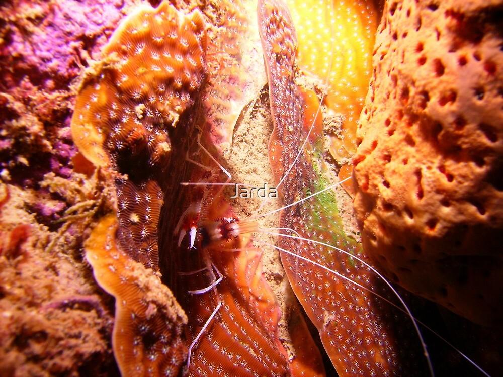 Cleaner Shrimp by Jarda