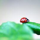 Ladybug by Amanda Roberts