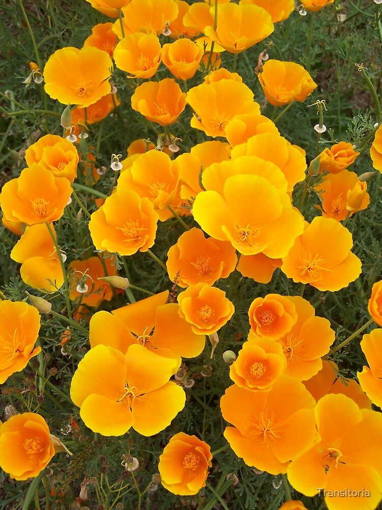 Golden Poppies by Transitoria
