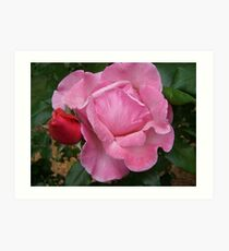 Pink Rose and Bud Art Print