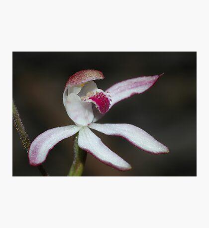 Stegostyla gracillis Photographic Print