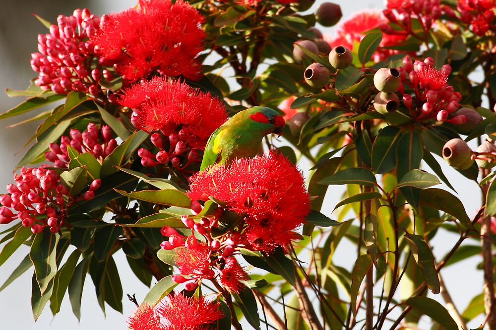 Parrot in Ficafolia Tree,Tasmania by David Jamrozik