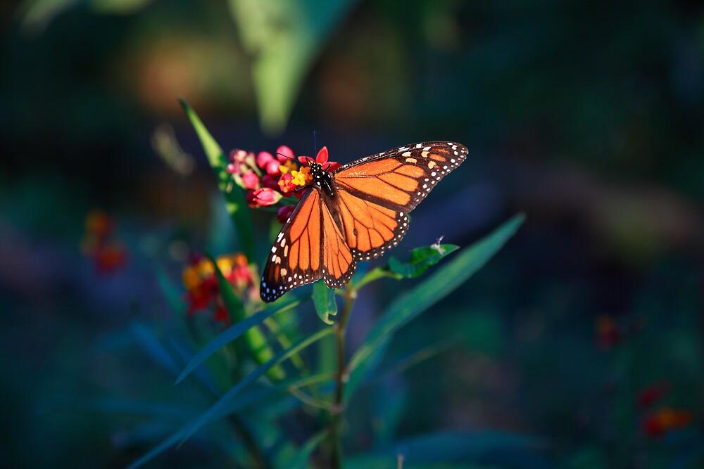 Monarch Butterfly by David Jamrozik