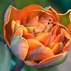 Tulip, Burnt Orange by LoneAngel
