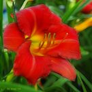Red Lily by Beckylee