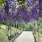 Purple Wisteria by Christine  Wilson