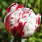Tulip, white with red stripes  by LoneAngel