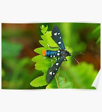 Oleander Moth Poster