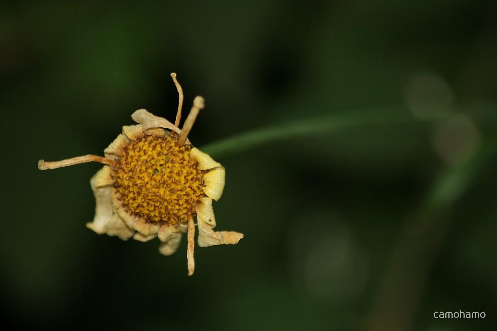 Broken Daisy by camohamo