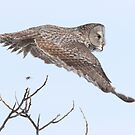 Great Gray Owl by DigitallyStill