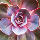 Succulent 1 by alan shapiro