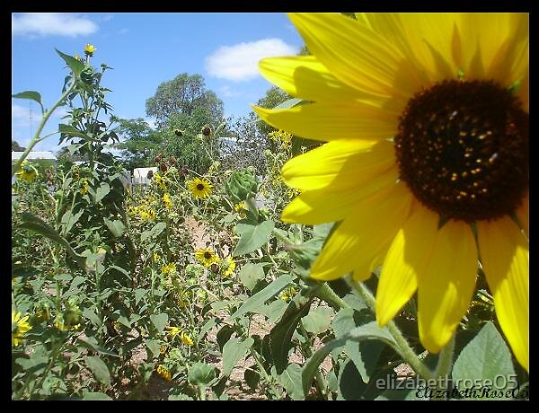Sunflower1 by elizabethrose05