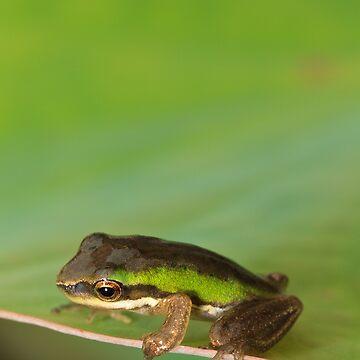 Dwarf Green Treefrog by dadegroot