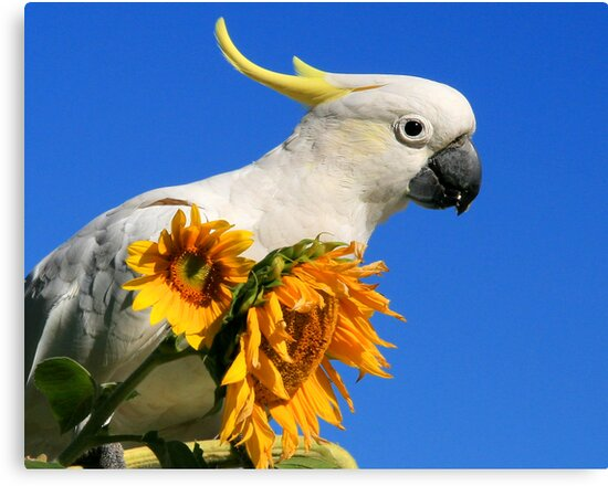 Sulphur Crested Cockatoo and Sunflowers by Lance Leopold