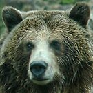 Grizzly at the Zoo by Erin  Herlihy