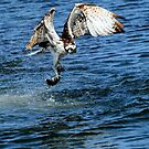 Osprey Goes Fishing by DARRIN ALDRIDGE