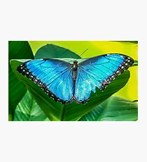 Blue morpho butterfly perched on a leaf Photographic Print