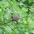 Bouncing Branch Chaffinch by CreativeEm