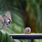 Sparrow perfect landing 656 by kevin chippindall