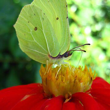 a sucker for nectar by photolia