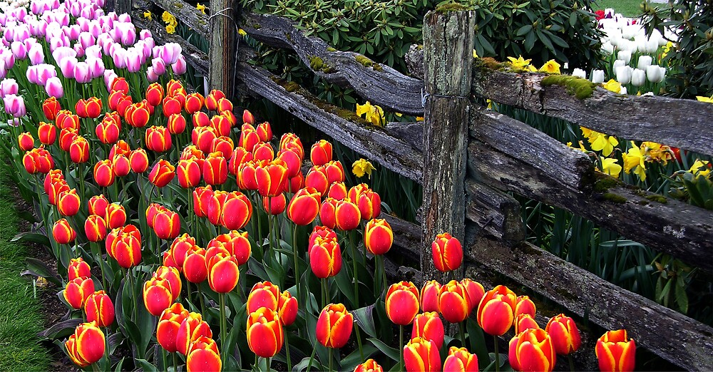 Tulip Fence One by Rick Lawler