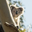 Koala bear looking by LisaRoberts