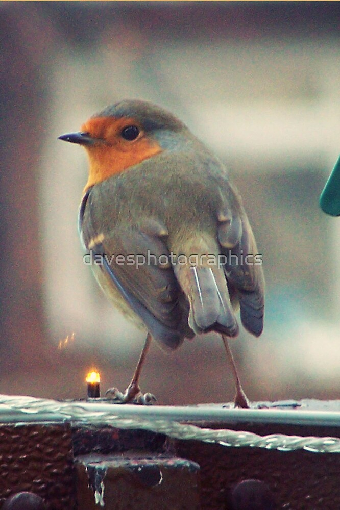 Robin Feeding by davesphotographics