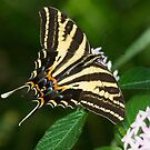 Swallowtail shows off by Ruth  Jolly