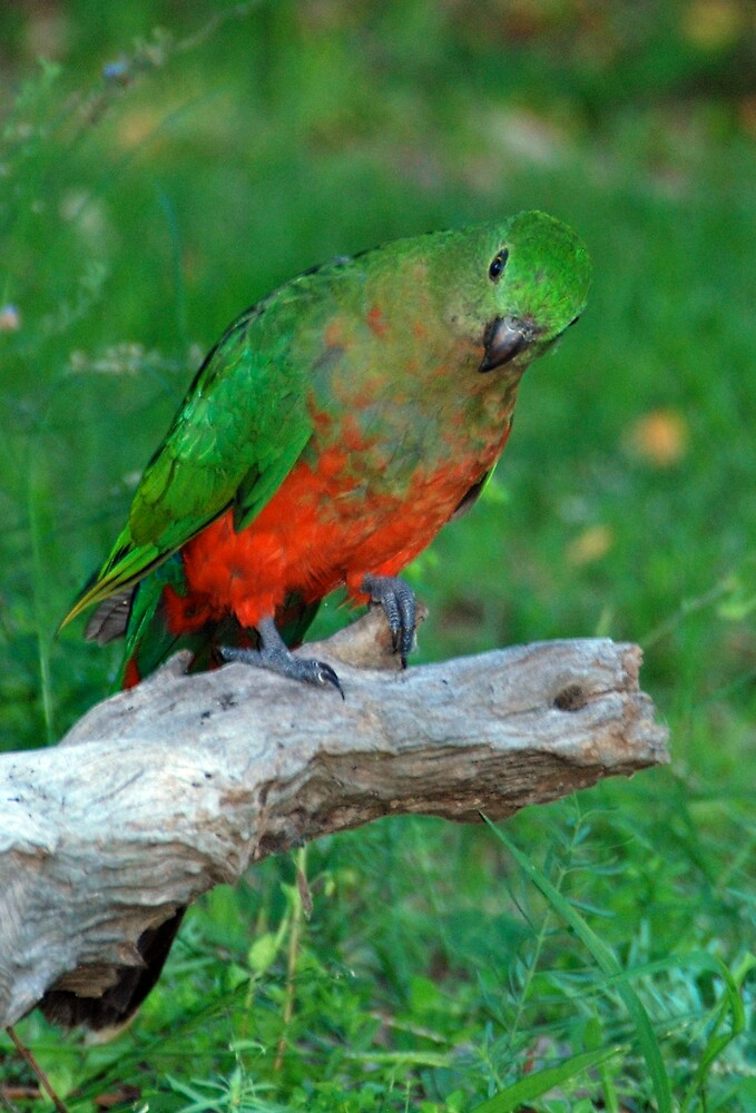 King Parrot by janetJ