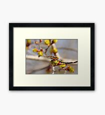 Red Admiral On Maple Bud Framed Print