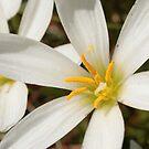 white pollen flower  by veins