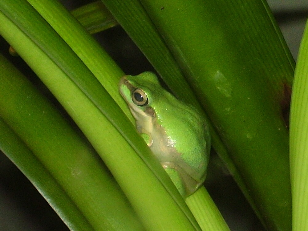Green Tree Frog by maxyboii