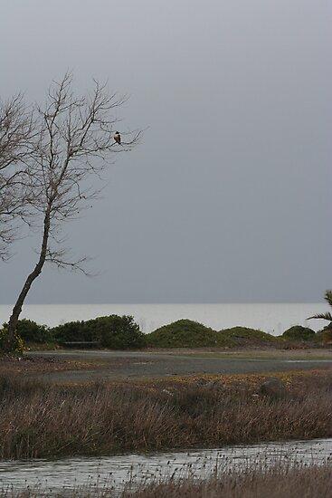 Hawk in tree by Chris Clarke