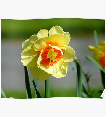 Tie A Yellow Ribbon Round The Old Oak Tree! - Daffodil - NZ Poster