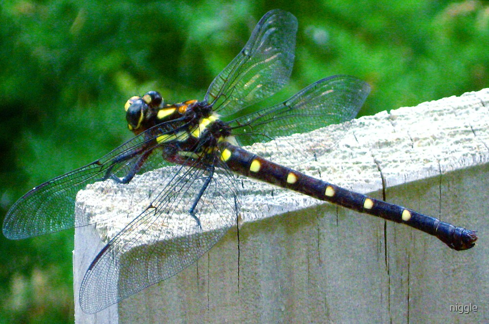 The Dragon Fly by niggle