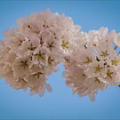 Bloomin' Lovely Sakura Blossoms by Gerda Grice